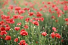 Campo borrado de florescência vermelho das papoilas na primavera fotos de stock