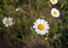 Campo branco da camomila em um fundo da grama Foto de Stock Royalty Free
