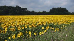Campo brillante de los girasoles Girasoles en un campo Fotografía de archivo