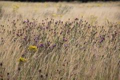Campo BRITANNICO di estate con la centaurea ed il senecione Fotografie Stock Libere da Diritti