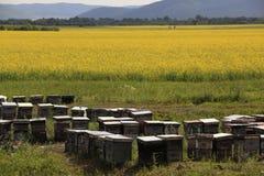 Campo, caja y abejas de la violación Fotos de archivo libres de regalías