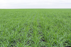 Campo coberto com a grama verde, grama nova do trigo ao horizonte Foto de Stock