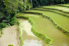 Campo colgante del arroz Fotografía de archivo