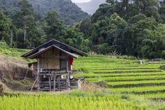 Campo colgante del arroz Foto de archivo libre de regalías