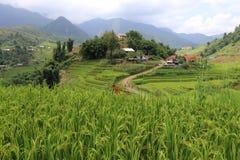 Campo colgante del arroz Imágenes de archivo libres de regalías