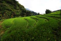 Campo colgante del arroz Fotos de archivo