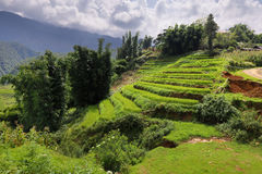 Campo colgante del arroz Imagenes de archivo