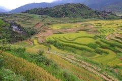 Campo colgante del arroz Imagen de archivo libre de regalías
