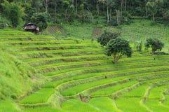 Campo colgante del arroz en el phamon de la prohibición, inthanon Chiangmai, Tailandia septentrional de Doi Foto de archivo