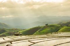 Campo colgante del arroz foto de archivo