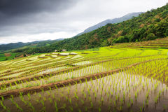 Campo colgante del arroz en la prohibición Papongpieng, Chiangmai, Tailandia imágenes de archivo libres de regalías