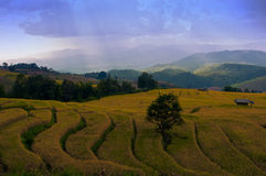 Campo colgante del arroz en Tailandia Fotos de archivo libres de regalías