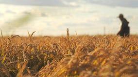 Campo colgante del arroz del oro en la puesta del sol fotografía de archivo
