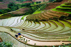 Campo colgante hermoso del arroz en MU Cang Chai, Vietnam Imagenes de archivo
