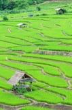 Campo colgante verde del arroz Imagen de archivo
