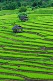 Campo colgante verde del arroz Imagenes de archivo
