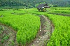 Campo colgante verde del arroz Fotos de archivo