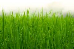 Campo colgante verde del arroz Foto de archivo