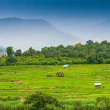 Campo colgante verde del arroz Imagen de archivo libre de regalías