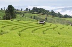 Campo colgante verde del arroz Fotografía de archivo