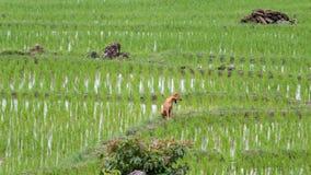 Campo colgante verde del arroz Imágenes de archivo libres de regalías