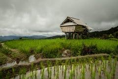 Campo colgante verde del arroz con el cielo gris Imagenes de archivo