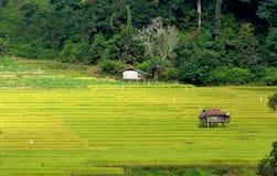 Campo colgante verde del arroz con luz del sol Fotografía de archivo
