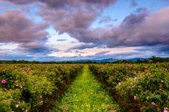 Campo color de rosa del búlgaro cerca de Karlovo fotografía de archivo