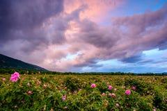 Campo color de rosa del búlgaro cerca de Karlovo imágenes de archivo libres de regalías