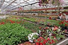 Campo colorato della petunia e del pelargonium con i vasi da fiori d'attaccatura Campo del geranio rosso e per la vendita Vasi d' Fotografie Stock