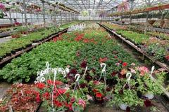 Campo colorato della petunia e del pelargonium con i vasi da fiori d'attaccatura Campo del geranio rosso e per la vendita Vasi d' Immagini Stock
