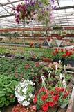 Campo colorato della petunia e del pelargonium con i vasi da fiori d'attaccatura Campo del geranio rosso e per la vendita Vasi d' Fotografia Stock