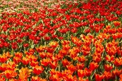 Campo colorido da tulipa Fotos de Stock Royalty Free