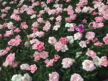 Campo colorido das flores Fotografia de Stock