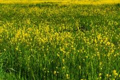 Campo colorido de batidas de florescência na mola imagem de stock