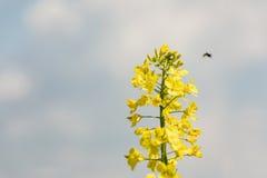 Campo colorido de la rabina Violación amarilla del campo en la floración con el cielo azul y las nubes blancas Fotografía de archivo