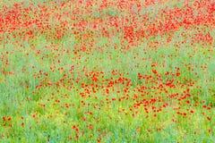 Campo colorido de las amapolas Fotografía de archivo libre de regalías