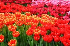 Campo colorido de los tulipanes Foto de archivo libre de regalías