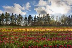 Campo colorido de tulipanes en la floración Foto de archivo libre de regalías