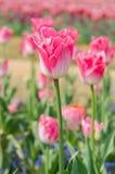 Campo colorido del tulipán Imagen de archivo libre de regalías