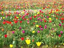 Campo colorido del tulipán Imagen de archivo
