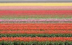 Campo colorido del tulipán, Países Bajos Imagenes de archivo