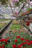 Campo colorido do pelargonium e do petúnia com os potenciômetros de flor de suspensão Campo do gerânio vermelho e para a venda Po Foto de Stock