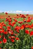Campo colorido do verão cênico das papoilas fotos de stock