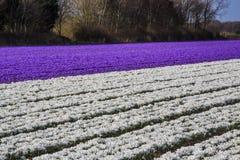 Campo colorido dos açafrões em Países Baixos na mola Fotos de Stock