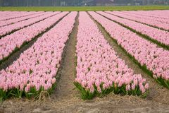 Campo colorido dos hyacinths Fotografia de Stock Royalty Free
