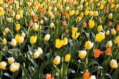 Campo colorido dos tulips Foto de Stock