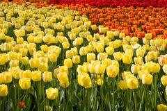 Campo colorido dos tulips Fotos de Stock Royalty Free