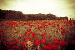 Campo Colourful con i fiori selvaggi rossi al tramonto nebbioso immagini stock libere da diritti
