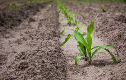 Campo coltivare con cereale, nella priorità alta un giovane cereale del cespuglio Fotografia Stock Libera da Diritti